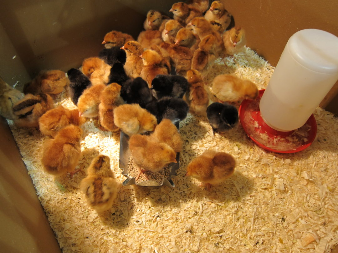 chicks, New Braunfels Feed, for the birds
