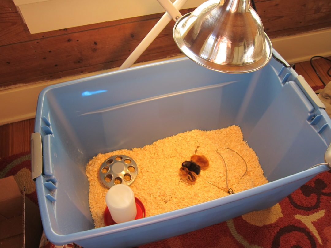 chick heat lamp, hatched chicks, for the birds