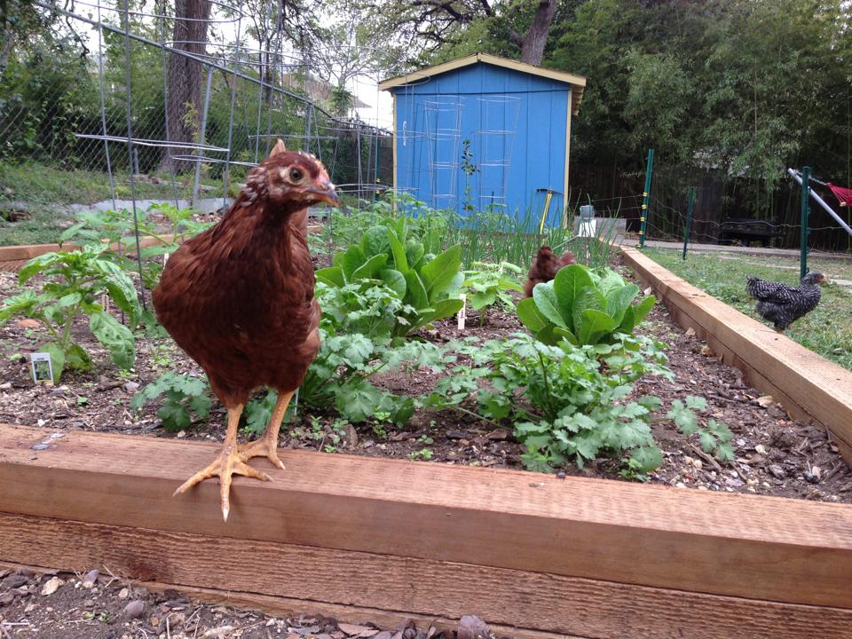 Urban Chickens, San Antonio Chickens, Backyard Chickens
